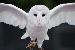 Barn owl bird of prey in falconry display Stock Photo