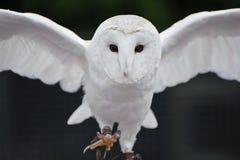 Barn owl bird of prey in falconry display. Falconry display featuring barn owl tuto alba alba stock photo