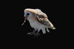 Barn owl on a black background. Barn owl with a chicken foot in its mouth taken at a flying display Stock Photo