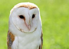 Barn Owl with black eyes Stock Photo