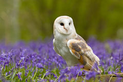 Barn Owl in Bluebells. Barn Owl in a field of bluebells Royalty Free Stock Images