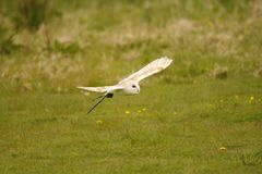 Barn Owl Bob Royalty Free Stock Images