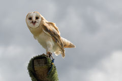 Barn Owl. A captive barn owl being taught how to hunt on a cloudy day Royalty Free Stock Images