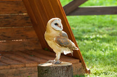 Barn Owl in captivity - in Latin Tyto Alba -sitting on a tree stump. Royalty Free Stock Images