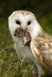 Barn Owl captures a field mouse Stock Photos
