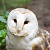 Barn owl or Church owl - square image Royalty Free Stock Photo