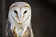Barn owl close up. Royalty Free Stock Images
