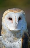 Barn Owl Close-up Stock Image