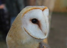 Barn owl close-up. A close-up of a barn owl Royalty Free Stock Image