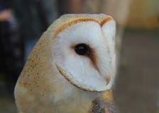 Barn owl close-up Royalty Free Stock Image