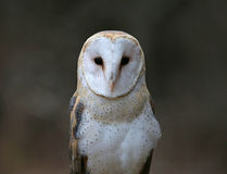 Barn Owl Close-Up Royalty Free Stock Photography