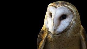 Barn owl close-up bannner portrait Royalty Free Stock Photo