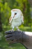 Barn Owl close up Stock Images