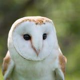 Barn Owl close up Royalty Free Stock Photos