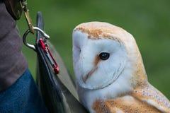 Barn Owl close up Stock Photo
