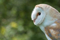 Barn Owl close up Stock Photos