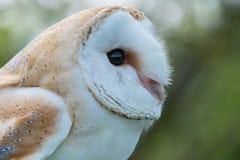 Barn Owl close up. Barn Owl, bubo bubo, close up.b Stock Photography