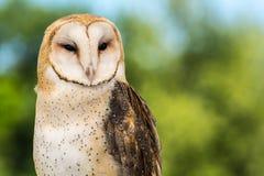 Barn Owl. A close up of a cute Barn Owl Stock Photo
