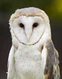 Barn owl close up Royalty Free Stock Photography
