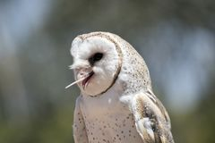 A barn owl. This is a close up of a lovely barn owl eating a rat. The barn owls catches mice and rats and are kept on farms stock image
