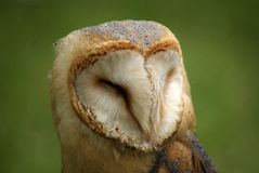 Barn owl close Stock Images