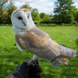 Barn Owl close up Stock Photography