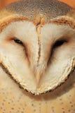 Barn owl. The closeup of barn owl royalty free stock image