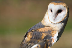 Barn Owl. Closeup of a barn owl outdoors Royalty Free Stock Image