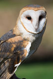 Barn Owl. Closeup of a barn owl outdoors Stock Photo
