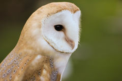 Barn Owl or Common Barn Owl.  Stock Images