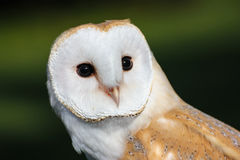 Barn Owl or Common Barn Owl Stock Images