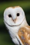 Barn Owl or Common Barn Owl.  Royalty Free Stock Photography
