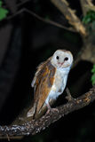 Barn owl or Common barn owl. Stock Photography