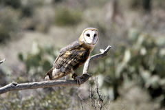 Barn owl in a controlled situation Royalty Free Stock Images