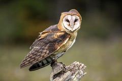 Free Barn Owl CRC Stock Image - 80755841