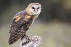 Free Barn Owl CRC Stock Photos - 80755923
