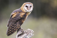 Barn Owl CRC Stock Photos