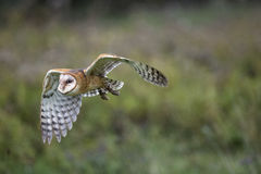 Barn Owl CRC Royalty Free Stock Image