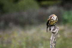 Barn Owl CRC. Barn owl perched on stump head cocked to one side Canadian Raptor Conservancy stock photography
