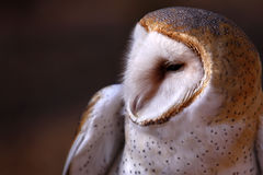 Barn Owl - Curious Stock Images