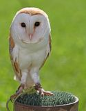 Barn OWL with dark eyes many perched on a pedestal Stock Image