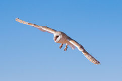Barn owl during a desert falconry show in Dubai, UAE. Royalty Free Stock Photography