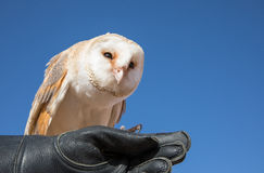 Barn owl during a desert falconry show in Dubai, UAE. Stock Images