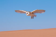 Barn owl during a desert falconry show in Dubai, UAE. Stock Image