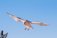 Barn owl during a desert falconry show in Dubai, UAE. Royalty Free Stock Images