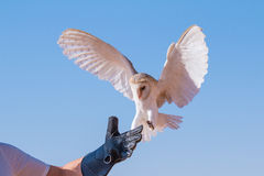 Barn owl during a desert falconry show in Dubai, UAE. Stock Photos