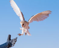 Barn owl during a desert falconry show in Dubai, UAE. Royalty Free Stock Photos