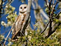 Barn Owl. Early morning with a Barn Owl Royalty Free Stock Photos