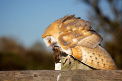 A barn owl eating Royalty Free Stock Photos