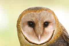 Barn owl face. Close-up of a barn owls face stock photo